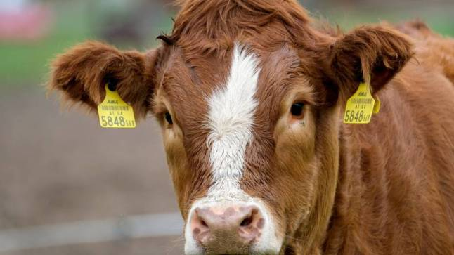 cow-5675684-845x475-1